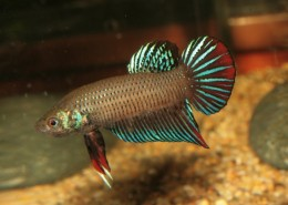 Short Finned Male (Plakat)