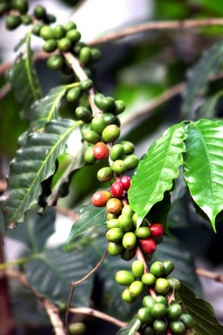 Coffee Production (Philippines)