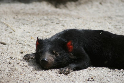 The Tasmanian Devil getting its much-neede rest.