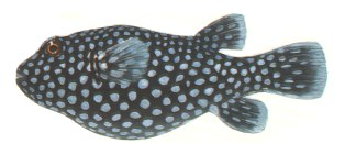 Botete (Puffer or Pez Globo) Mexico.  Highly poisonous puffer fish variety.