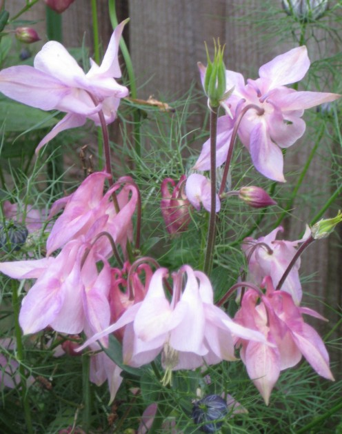 aquilegia grown from seed