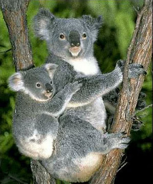 The cuddly mother koala with her koala toddler hehehe...