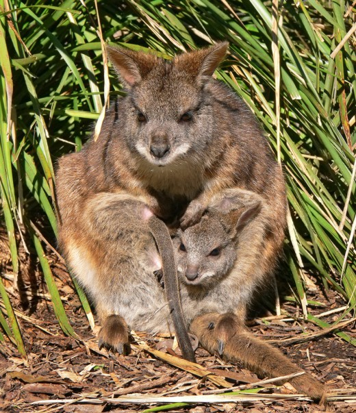 A mother wallaby carrrying her joeys...