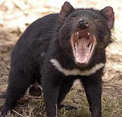 the Tasmanian showing off fearsome form wakikik...