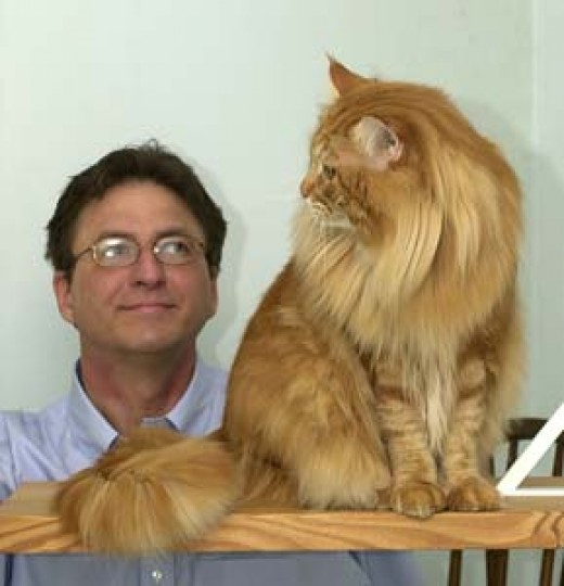 Verismo: Maine Coon cats; Dad & Moose an orange maine coon.