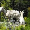 Canadian Wildlife in the Rocky Mountains