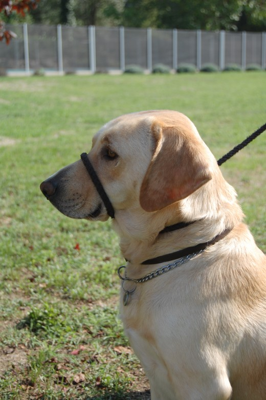 A simple gundog halter corrected his behavior in minutes