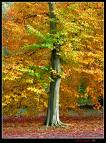 Maple Tree    sitemaker.urnich.edu
