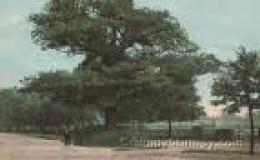 Oak Tree    grumpystumpy.com