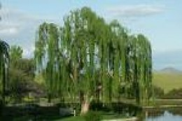Willow Tree    freewebs.com