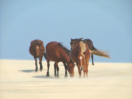 Wild Horses On The NC Outer Banks