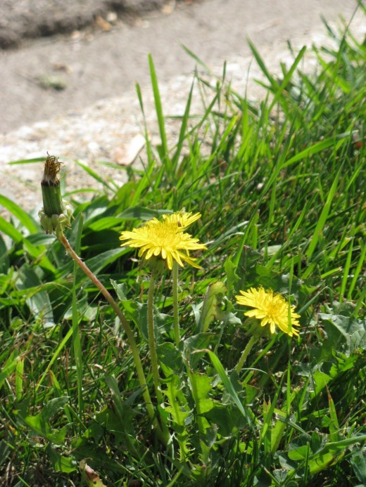 Dandelion, not just a weed