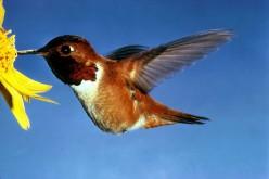 A hovering Rufous Hummingbird.