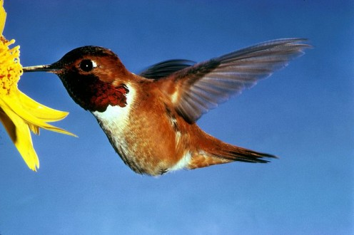 A hovering Rufous Hummingbird.