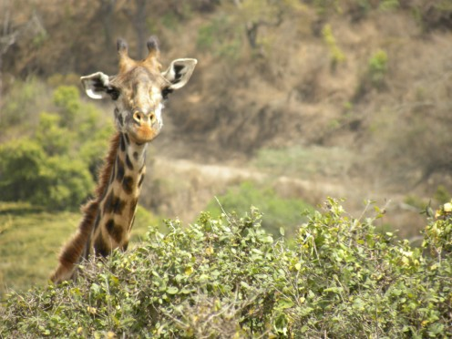 Hello, I am a giraffe from the Arusha National Park.  Howya doing?