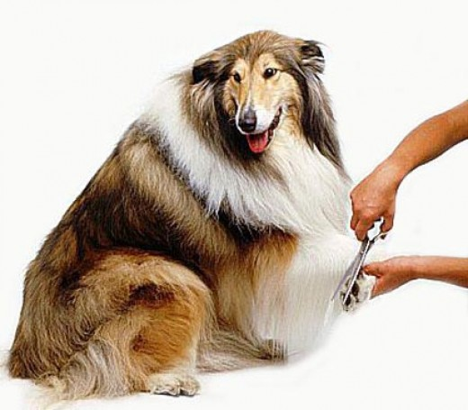 Keep fur between toes trimmed to prevent dirt build-up.