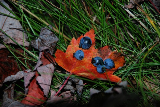 Seasons greeting. The last wild blueberries of summer rest on a red maple leaf of fall near Lake Superior. Yes, I picked the berries. Yes, they tasted good.
