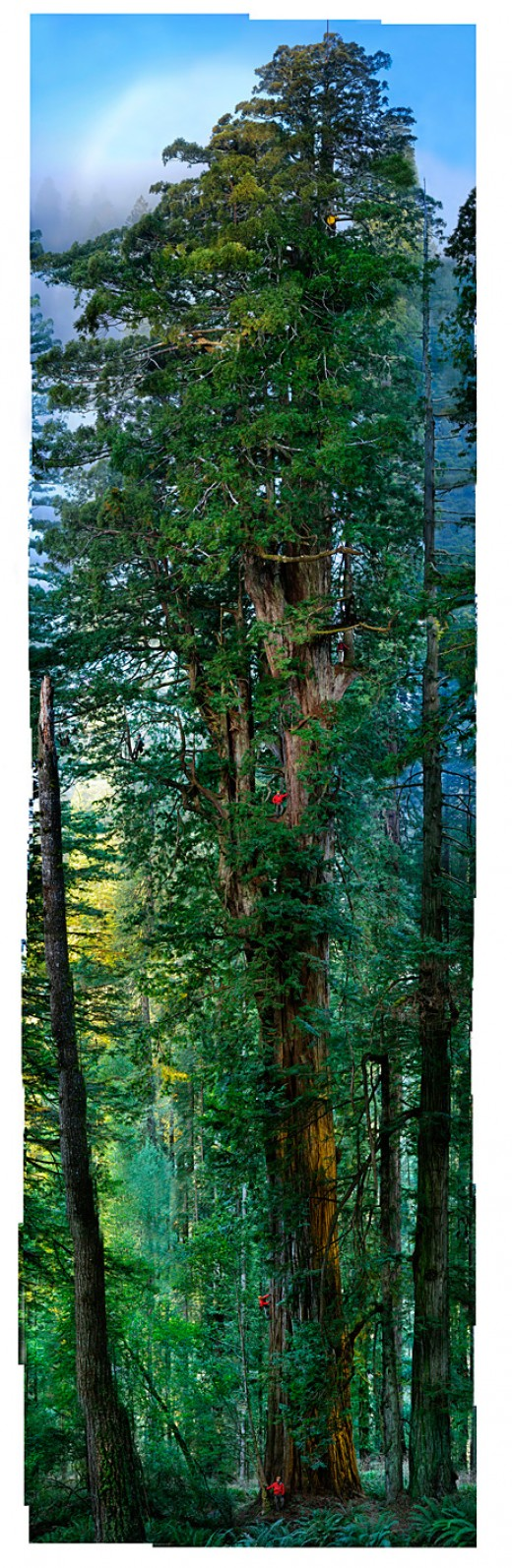 At least 1,500 years old, this 300-foot giant in California's Prairie Creek Redwoods State Park has the most complex crown ever mapped.
