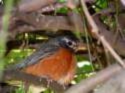Robin My Hood