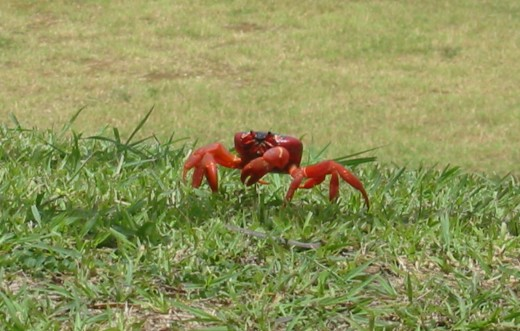 Red Crab of Christmas Island (Pic Source:Wikipedia)