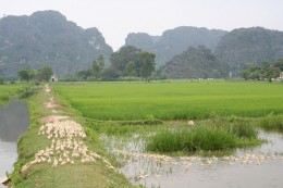 """Ducks Crossing"" Ninh Binh"
