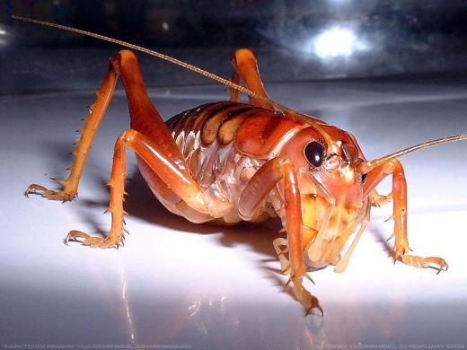 "A ""Parktown Prawn"" (from Wikipedia)"