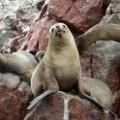 Sea lions in the Ballestas Islands