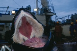 Poignant and distressing picture of whale showing its baleen          by animals.howstuffworks.com