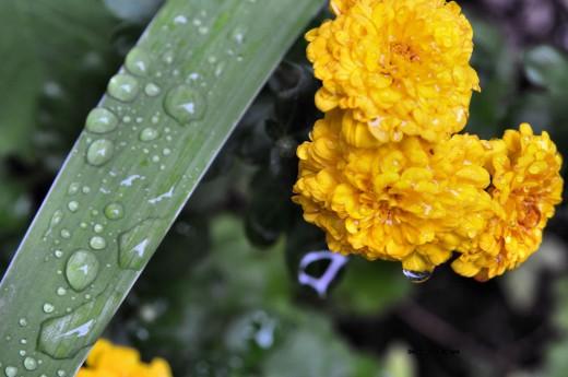 An iris leaf holds rain droplets as a drip clings to a mum flower.