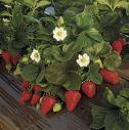 Organically grown strawberries thick with fruit and flowers