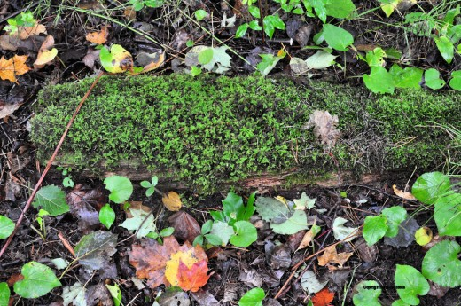A moss-covered log is accented by leaves.