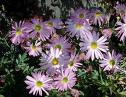 Chrysanthemums come in all colors of the rainbow.