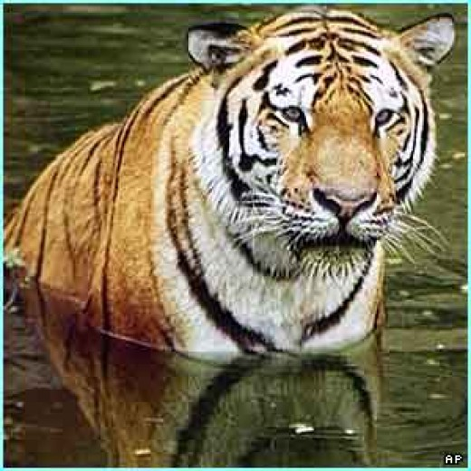 The majestic tiger,national animal of India