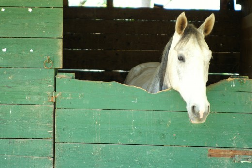 A bored, stressed horse will crib and chew wood.