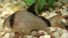 Corydoras - Armoured catfish is a dwarf catfish great for most smaller communities