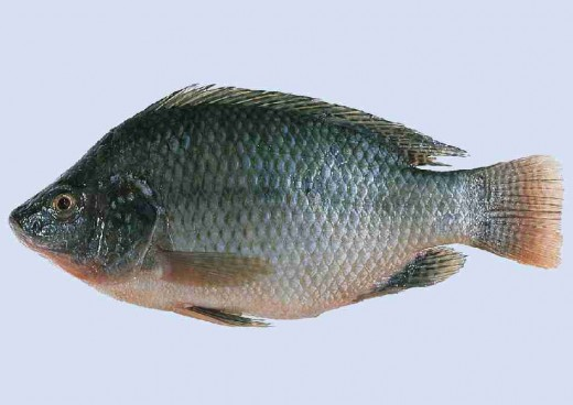 Tilapia is a delicious farm raised white meat fish that can be cooked fried , broiled , grilled , blackened or etc. Its one of the best tasting fishes there is. Its white flesh is mild and delicious.