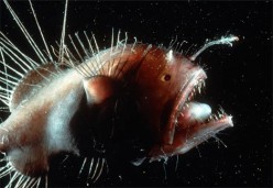Weird Animals - the Anglerfish