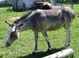 Hinny: cross between a female donkey and male horse.