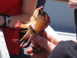 The dunganess crab is harvested commercially in the coastal waters of Newport.