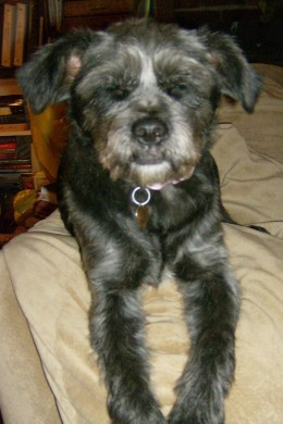 Olive is a brussels griffon and border collie mix