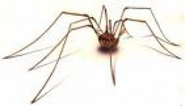 "The ""Daddy Longlegs"" spider, note, no wings, also harmless (except to daddy long legs which it might eat!)    floridabugs.com"