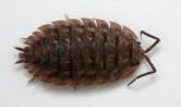 The Woodlouse is actually a crustacean known as the Pill Bug, etc. Rolls up ike a ball. Often confused with the Leatherjacket (by dumb hubbers!)    a-z-animals.com