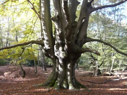 http://upload.wikimedia.org/wikipedia/en/b/b6/Epping_Forest_pollard.jpg