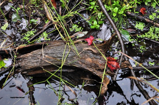 Maple leaves rest on a piece of a log in a swamp rivulet leading to the creek