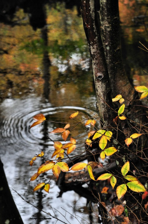 A drop of water sends ripples outward in the creek. The rich yellows of beech leaves accent the foreground.