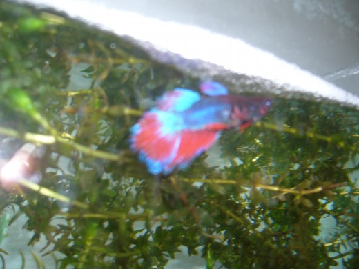 How to breed siamese fighting fish part one for How to euthanize a fish