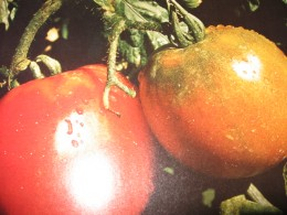 pic from my 2002 tomato crop