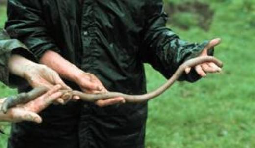 за корнями червяки. за червями?