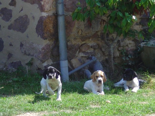 The last we saw of all three pointer pups together, sitting outside our gite.