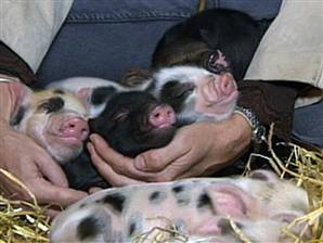 Jane Craft and her new teacup pig breeding venture in Great Britain!